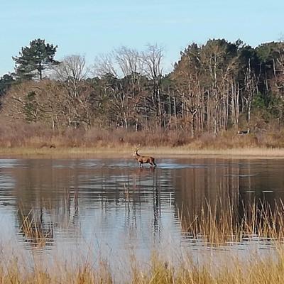 Chasse aux cerf dans l'étang de Langouarde
